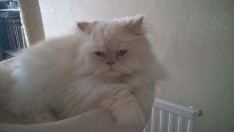 Strawberry persian pedigree cat rescue uk